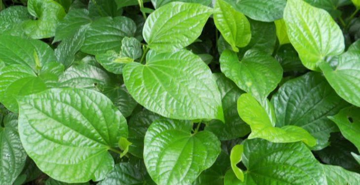 Mẹo dân gian chữa bệnh bằng cây lá lốt được áp dụng từ lâu