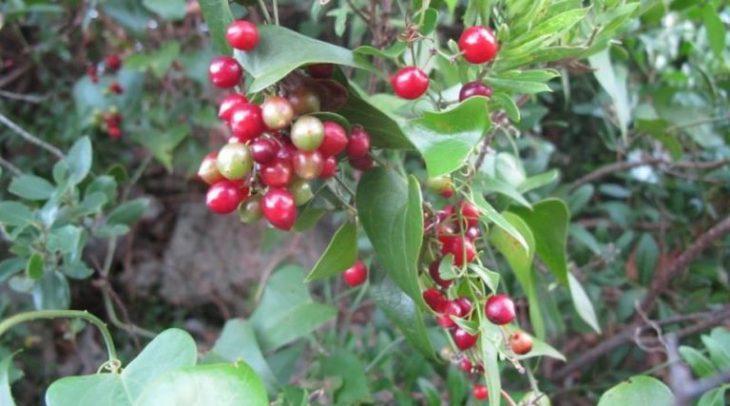 Thổ phục linh là cây thuốc Nam chữa bệnh đau nhức xương khớp được người dân áp dụng nhiều