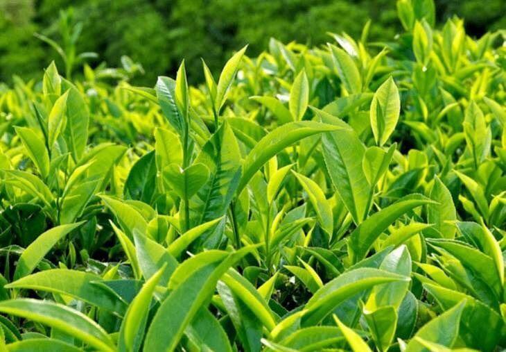Sử dụng lá trà xanh chữa lưỡi trắng ở trẻ là phương pháp được nhiều bà mẹ tin dùng