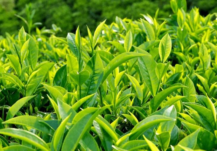 Lá trà xanh có tác dụng hỗ trợ điều trị bệnh khá tốt