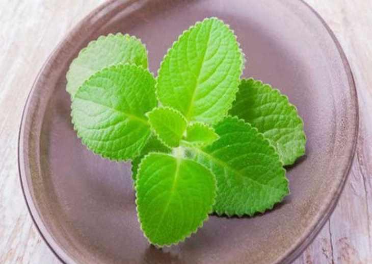 Khi kết hợp lá đu đủ với lá húng chanh sẽ làm tăng hiệu quả chữa viêm họng cho người bệnh.