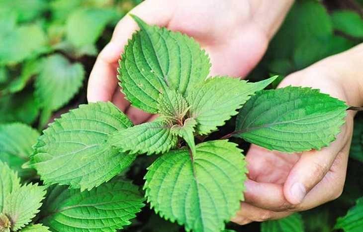 Trong lá tía tô chứa nhiều thành phần, hoạt chất giúp cải thiện các triệu chứng một cách nhanh chóng