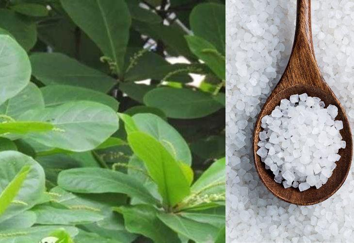 Dùng muối và lá bàng để rửa vùng kín cũng là cách hiệu quả được áp dụng nhiều hiện nay