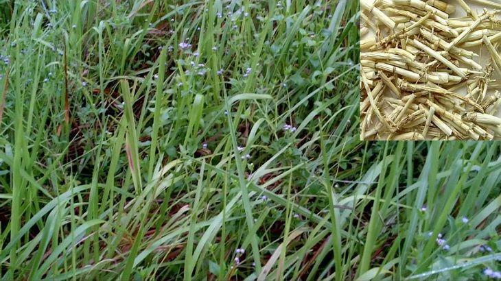 Rễ cỏ tranh khô hay tươi thì cũng đều cho dược tính cao trong chữa bệnh